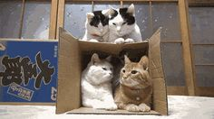 How Many Cats Can You Get in a Box?