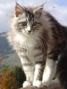 Maine coon - gorgeous pic!