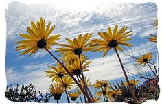 The world renown Namaqua daisies - Namaqualand National Park and the Namaqua flowers spectacle