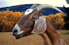 Map: Literally every goat in the United States - The Washington Post