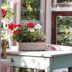 Åh herregud ja! Ett växthus av skruttiga fönster, ett patinerat gammalt bord och massor av pelargoner  @finthemma #loppis #underbaraboning #scandinavianhomes