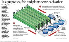 Hydroponics Gardening fish tank hydroponic garden aquaponics system by pentair aquatic eco systems growing Aquaponics Greenhouse, Aquaponics Diy, Aquaponics System, Hydroponic Growing, Hydroponic Gardening, Organic Gardening, Indoor Gardening, Agriculture, What Is Need