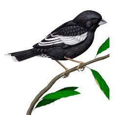 lark bunting state bird