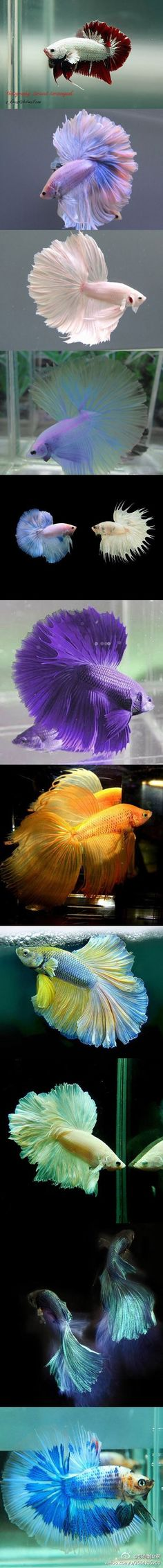 Some interesting betta fish facts. Betta fish are small fresh water fish that are part of the Osphronemidae family. Betta fish come in about 65 species too! Colorful Fish, Tropical Fish, Beautiful Creatures, Animals Beautiful, Siamese Fighting Fish, Water Animals, Underwater Life, Beautiful Fish, Sea World
