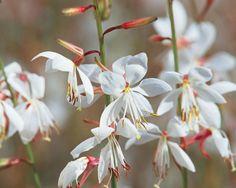 Gaura Lindheimeri, Stratosphere White Butterfly Flower. Shade GardenGarden  ...