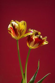 Leah McDaniel Photography - Bi-color Yellow and Red Tulips on Red