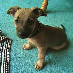 Chipit (Half Chihuahua Half Pitbull Terrier), this is what the puppies would look like it our dog was mixed with our neighbors dog lol  so cute!!!