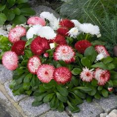English daisy - Mix ,red, pink white,accented with a golden-yellow center. Plants are excellent garden performance.English Daisy (Bellis Perennis Super Enorma Mix) - This Bellis flower seed is a mixture of English Daisy seeds that creates a love. Flower Pots, Spring Garden, Red Plants, Flowers, Bellis Perennis, Daisy, Flower Seeds, Perennials, Plants