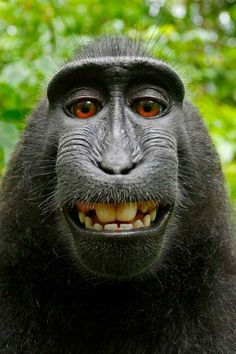 A monkey took this selfie in Indonesia in 2011. | No, Wikipedia Doesn't Think A Monkey Owns The Copyright On This Selfie