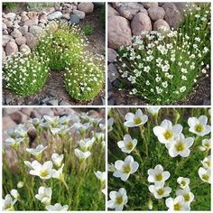 patjarikko Home And Garden, Alpine Plants, Plants, Garden, Yard, Backyard