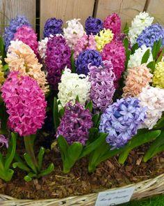-Flores-Particulares-a-la-Temporada-de-Primavera---Jacinto.