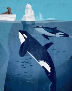 Orcas are very social creatures and live and travel together in groups of relatives known as pods. Pods usually consist of 5 to 30 whales, although some can pods can combine to form a group of 100 or more. Each family establishes a social hierarchy (lead by females) and has its own dialect that they use to communicate with each other. Illustration: Dieter Braun