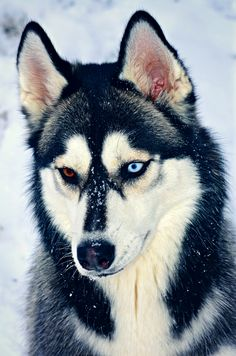 A Siberian Husky, showing different colored eyes, a trait called heterochromia of the eye.