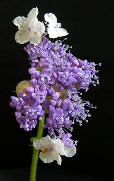 Hydrangea involucrata. A small, fascinating, relatively rare, member of the hydrangea genus. The flower buds, fully enclosed in involucral bracts, open with white ray florets surrounding bluish fertile flowers.