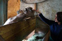 Animation de l'Office du Tourisme : Visite de la chèvrerie à Grattavache L Office, Animation, Horses, Animals, Snowshoe, Ice Rink, Cross Country Skiing, Tourism, Animales