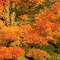 Sugar maple trees in autumn, White Mountain National Forest, New Hampshire, USA