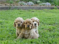 Three little spaniels