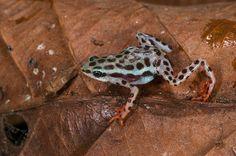 Rio Pescado Stubfoot toad (Atelopus balios). South west ECUADOR. South America. Not recorded in Ecuador since 1995 CRITICALLY ENDANGERED Rediscovered 2015