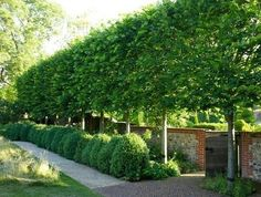 Pleached Hornbeam trees - Pleaching is the weaving branches of multiple trees together for privacy, wind & sound block. Best trees for pleaching are Lindens, Hornbeam (Carpinus betulus), Beech, Apple, Pear, Hawthorn, & Carob. The American Hornbeam (Carpinus Caroliniana) is hardy and holds some of it's leaves during winter to provide a privacy screen year round. Because each tree is trained to have a single stem, there is space below a pleached hedge for other plantings (a hedge on stilts!)