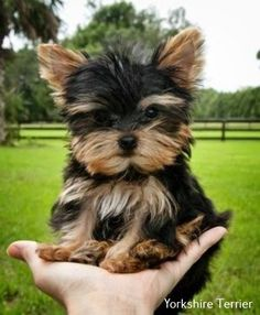 , AKC Registered T cup Yorkshire Terrier., AKC Registered T Tasse Yorkshire Terrier. Yorky Terrier, Terrier Dogs, Terrier Rescue, Yorkies, Yorkie Puppy, Teacup Yorkie, Husky Puppy, Cute Puppies, Cute Dogs