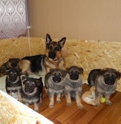 That's a good looking GSD family.