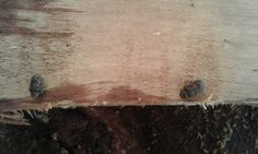 A pair of Death Watch Beetle Beetle, Mother Nature, Death, Homes, Shape, June Bug, Houses, Beetles, Home