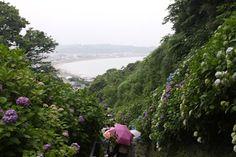 Ajisai or hydrangea beginning to bloom in Kamakura, Japan