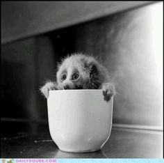 Cup of Loris