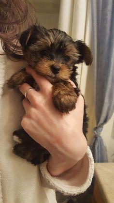 Theo a Yorkie Posh pup yorkieposh.com #yorkshireterrier