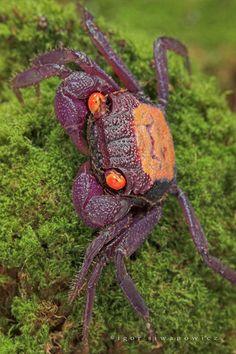 Vampire Crab (Geosesarma sp.) ~ By Igor Siwanowicz