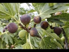 Figs are some of the most highly prized fruits, rich in fiber, nutrients, and antioxidants, they often cost a lot in stores due to their short shelf life. No...