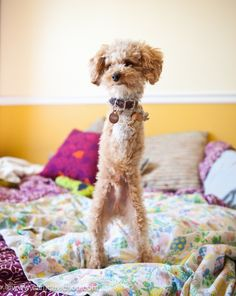 Ramen Noodle the Two-Legged Poodle...try not to get misty-eyed looking at this adorable-ness!