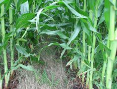 ISU research: Corn yields with perennial cover crop are equal to traditional farming - News Service - Iowa State University