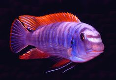 A young male Labeotropheus trewavasae