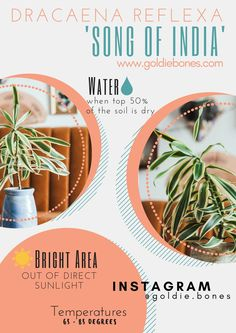 The Green Thumb You Never Thought You Had! Dracaena Reflexa // Song of India Indoor Plant Care www. Landscaping Tools, Backyard Landscaping, Ocean Snacks, Snake Plant Care, Dragon Tree, Diy Projects For Beginners, Chicken Feed, Top Soil, Tree Care