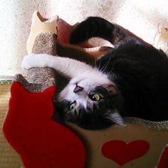 これ、くるちゃんの爪研ぎベッドなん♪ #猫 #ネコ #cat #ぽっちゃり猫 #ぽっちゃりねこ #でぶねこ #デブ猫 #四国にゃんこ部 #猫と暮らす #猫との暮らし #猫のいる暮らし #猫のいる生活 #ねこら部 #愛猫 #猫バカ部 #爪研ぎ いやみんなのやで~?