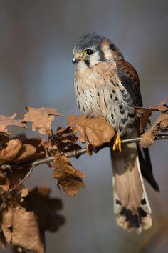 Falco Sparverius  Copyright Milan Zygmunt, via 500px