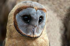 "thalassarche: ""Ashy-faced Owl (Tyto glaucops) - photo by ngbyrne "" Beautiful Owl, Animals Beautiful, Cute Animals, Tyto Alba, Owl Pictures, Mundo Animal, Tier Fotos, Owl Art, Cute Owl"