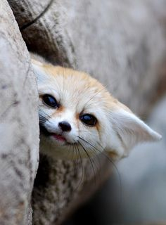 Fennec foxes make me happy. I think it's their built-in smiles.