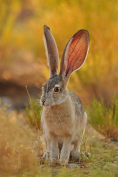 Wild hare. I so miss the rabbits I had! They had gorgeous ears like this, but smaller.