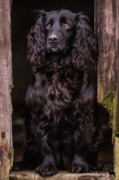 Chocolate Cocker Spaniel, Blue Roan Cocker Spaniel, Black Cocker Spaniel, English Cocker Spaniel, Spaniel Breeds, Spaniel Puppies, Dogs And Puppies, King Charles Cocker Spaniel, Working Spaniel