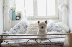 The cutest Westie in the World!
