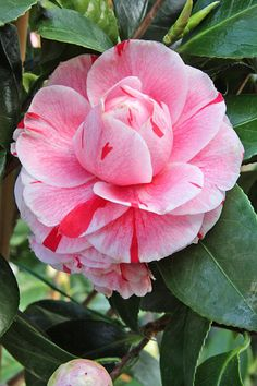 Camellia japonica 'Bonomiana' (Italy, by 1858)