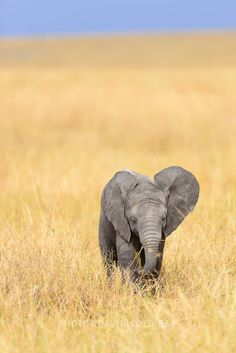 Ellie by David Lloyd on A little elephant calf about two months old, the adorable age. Especie Animal, Mundo Animal, Asian Elephant, Elephant Love, Elephant Images, Cute Baby Animals, Animals And Pets, Wild Animals, Beautiful Creatures