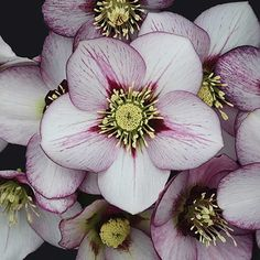Honeymoon French Kiss Helleborus