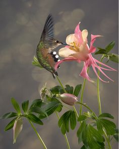 Hummingbird takes advantage of a columbine flower this will be my tattoo. Awesome.