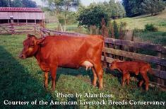 Canadienne Cattle; One of the few historic breeds of livestock developed in Canada. It is a North American heritage breed that is now critically endangered in becoming extinct. Visit the ALBC to see how you can help.