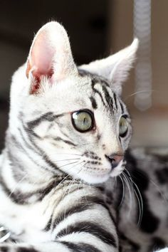 4 month old silver Bengal kitten, Asia.