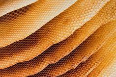 Honigbiene Das Wachs, das sie als Baustoff brauchen, bilden Arbeitsbienen in ihrem Hinterleib. In sechseckige Form gebracht, erfüllen die W...