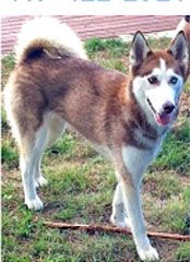 PLEASE SHARE #LOST red/white, two-year-old female #Siberian #Husky. Dakota was last seen at 44th Ave Ct. E in #Spanaway, #WA (#Elk #Plain) on Sept 7/13. She is about 25 lbs., blue eyes, chipped, wearing a collar but no tags. Please call 469-422-2320 or email sanda.hamzic@mavs.uta.edu if you know the whereabouts of this #dog.